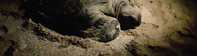 Tartaruga nella riserva Ras Al Hadd in Oman