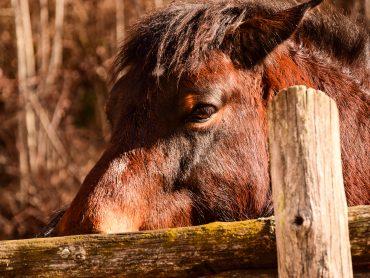Cavallo Bardigiano Agriturismo Carovane