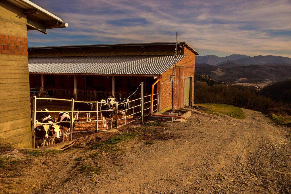 I vitelli presso l