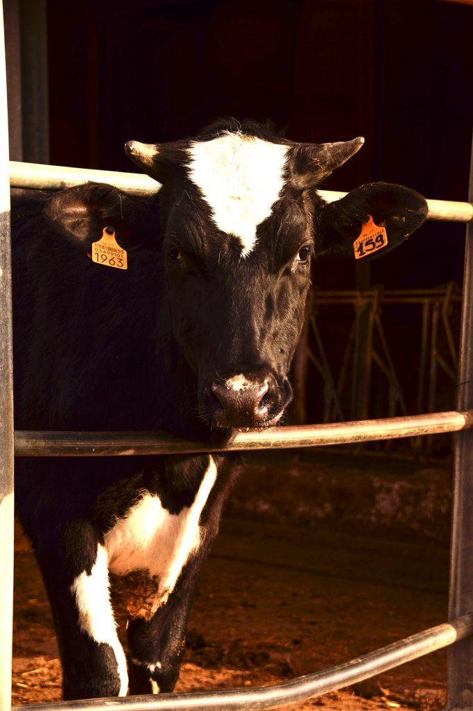 La mucca preferita di Enry Agriturismo Carovane