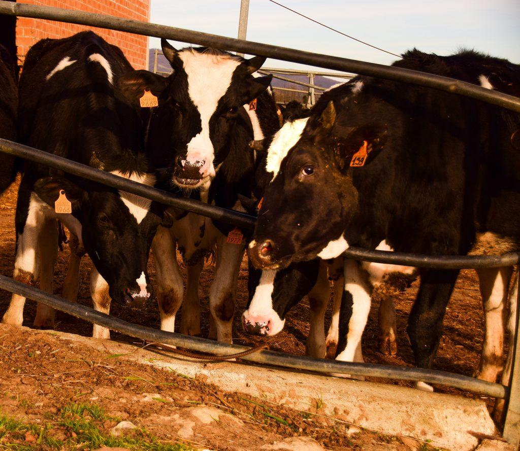 Le mucche da latte dell
