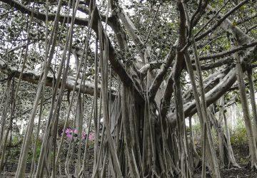 Brisbane Botanic Gardens Foresta secolare
