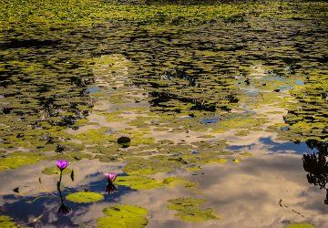 Brisbane Botanic Gardens Ninfee nella Laguna